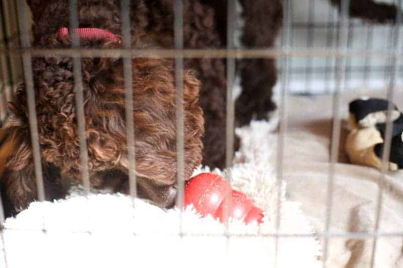 dog eating kong in crate