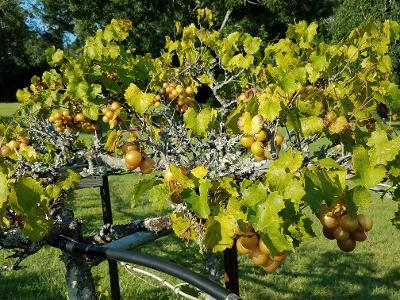 golden scuppernongs on the vine