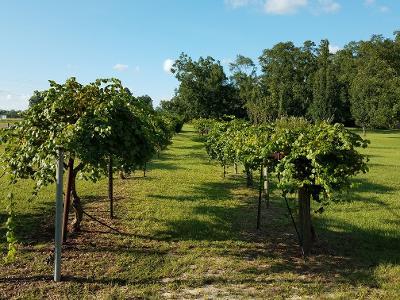 scuppernong grape vines